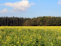 field-of-rapeseeds-1832164